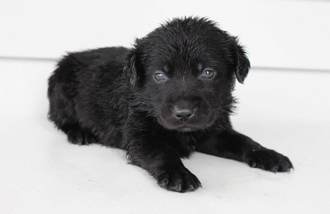 Kobe - Lab mix male doggie for sale at Grabill, Indiana
