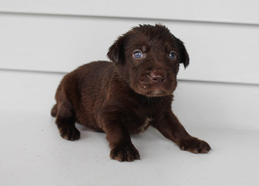Archie - Lab mix male puppy for sale near Grabill, Indiana