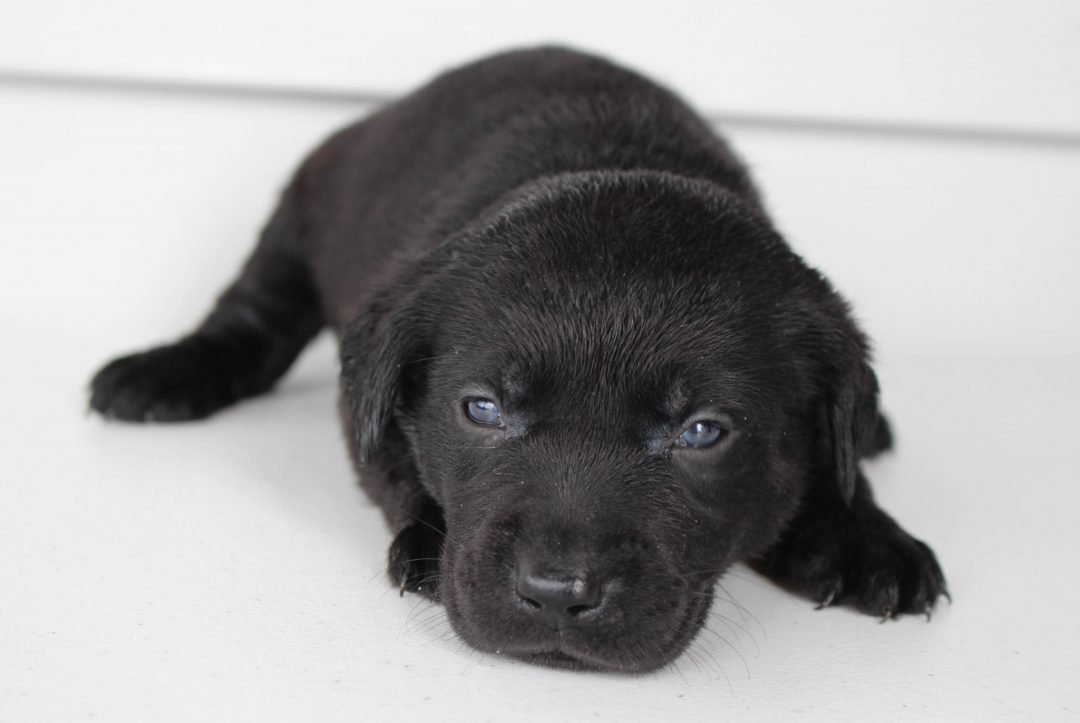 Rosie - Lab mix female pup for sale in Grabill, Indiana
