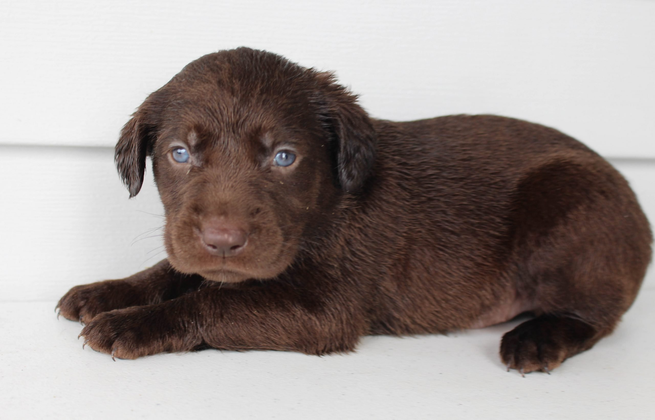 Teddy - Lab mix male pupper for sale at Grabill, Indiana