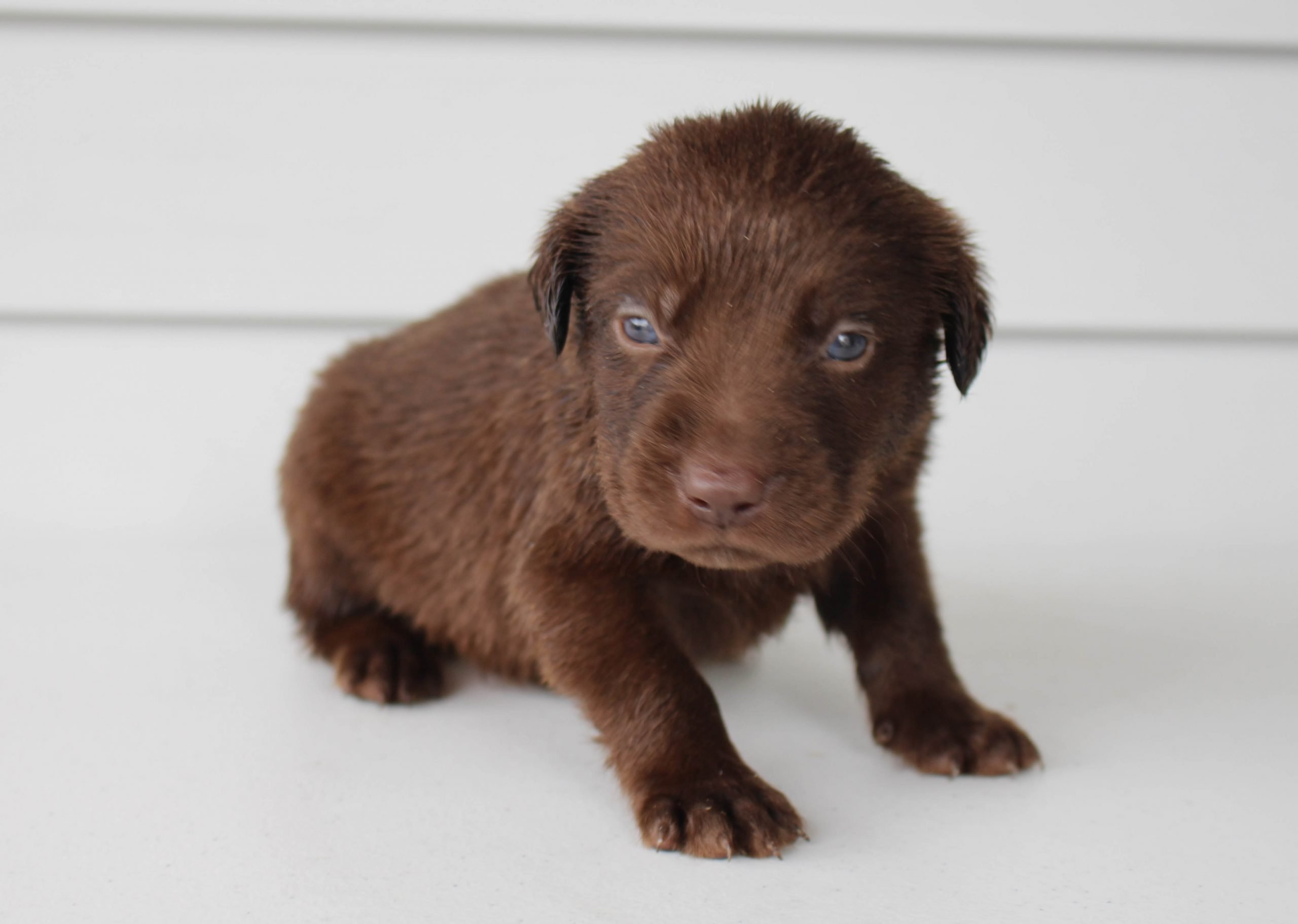 Buddy - puppie Lab mix male for sale near Grabill, Indiana