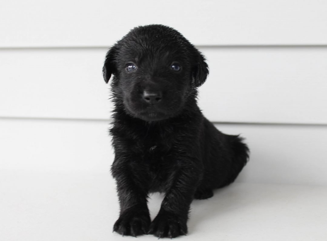 Dylan - Lab mix male doggie for sale in Grabill, Indiana
