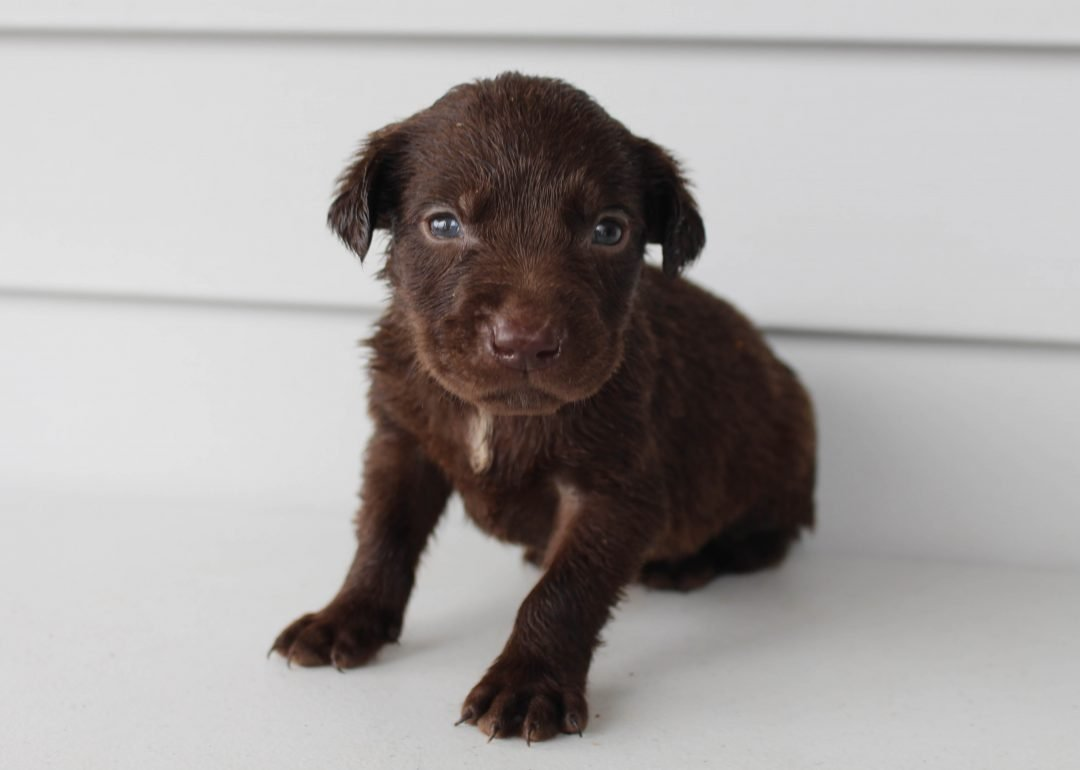 Indy - Lab mix male puppy for sale at Grabill, Indiana
