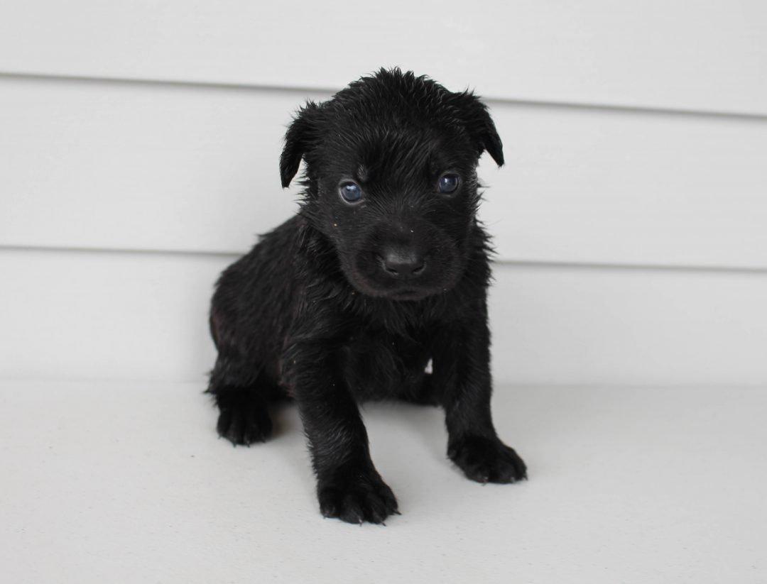 Brooklyn - Lab mix male pupper for sale near Grabill, Indiana