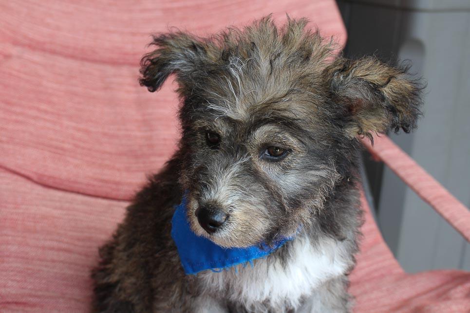 Zeke - Huskypoo male puppy for sale in Shipshewana, Indiana