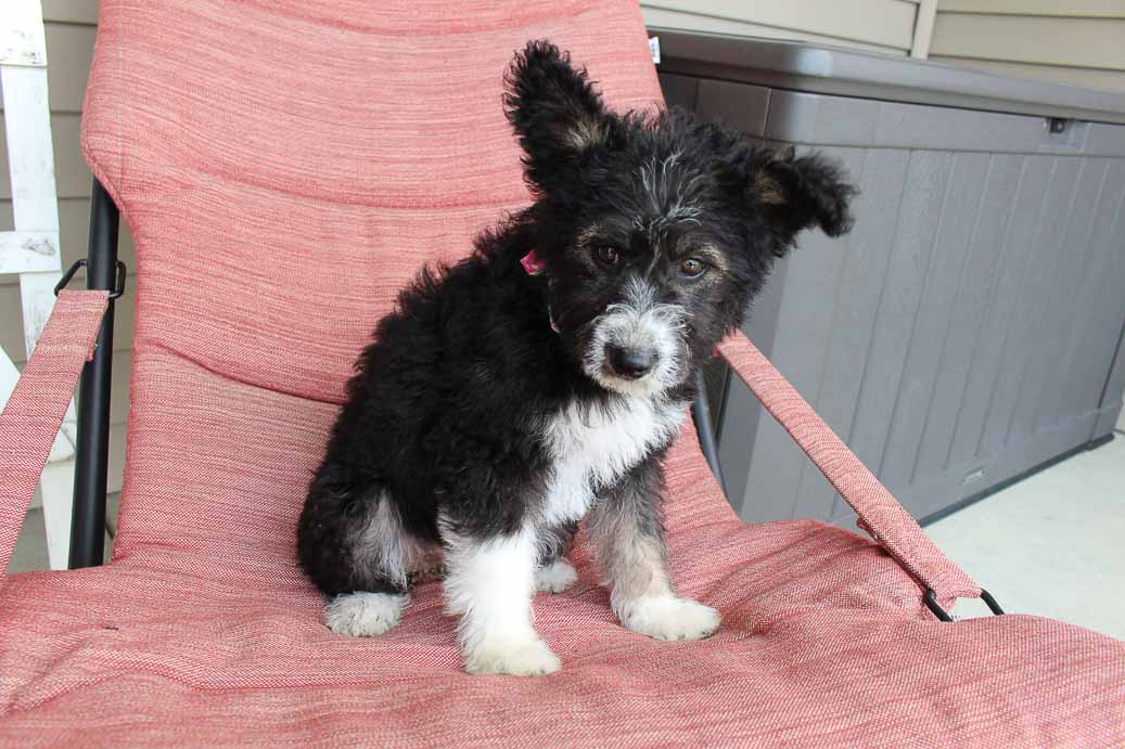 Rylee - Huskypoo female doggie for sale near Shipshewana, Indiana