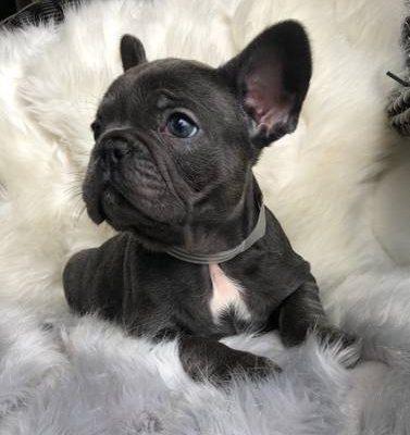 Rex Male French Bulldog Puppy Local