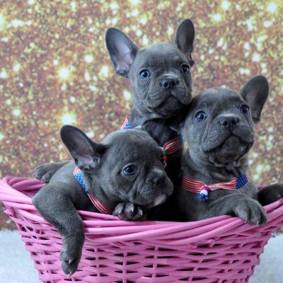 arizona french bulldog puppies for sale