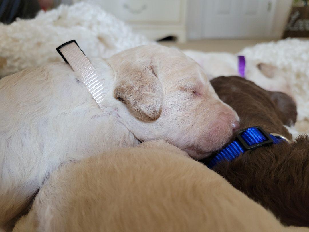 Mina - AKC Goldendoodle female puppie for sale near Melbourne, Florida