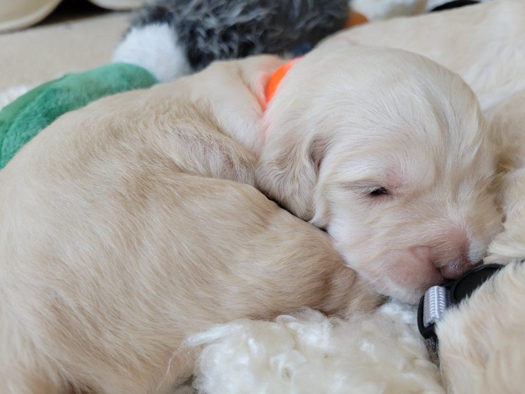 Cassie - AKC Goldendoodle female puppie for sale in Melbourne, Florida