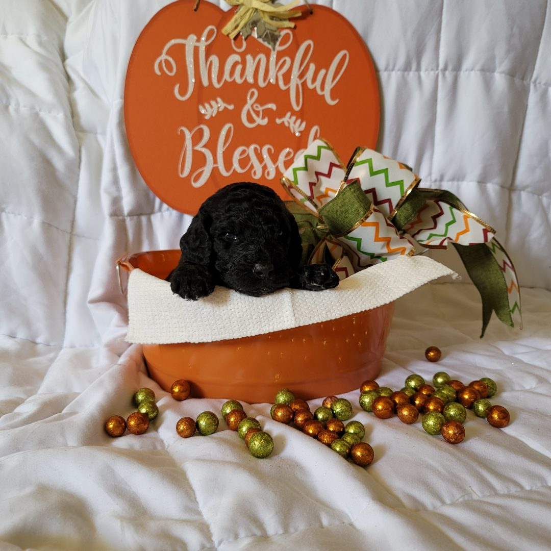 Titan - AKC Goldendoodle male doggie for sale at Melbourne, Florida