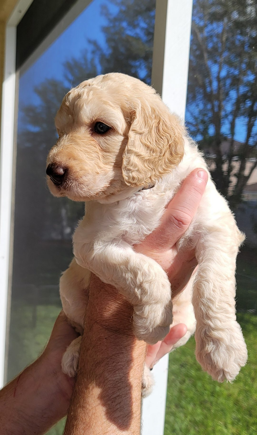 Orion - male AKC Goldendoodle puppy for sale in Melbourne, Florida