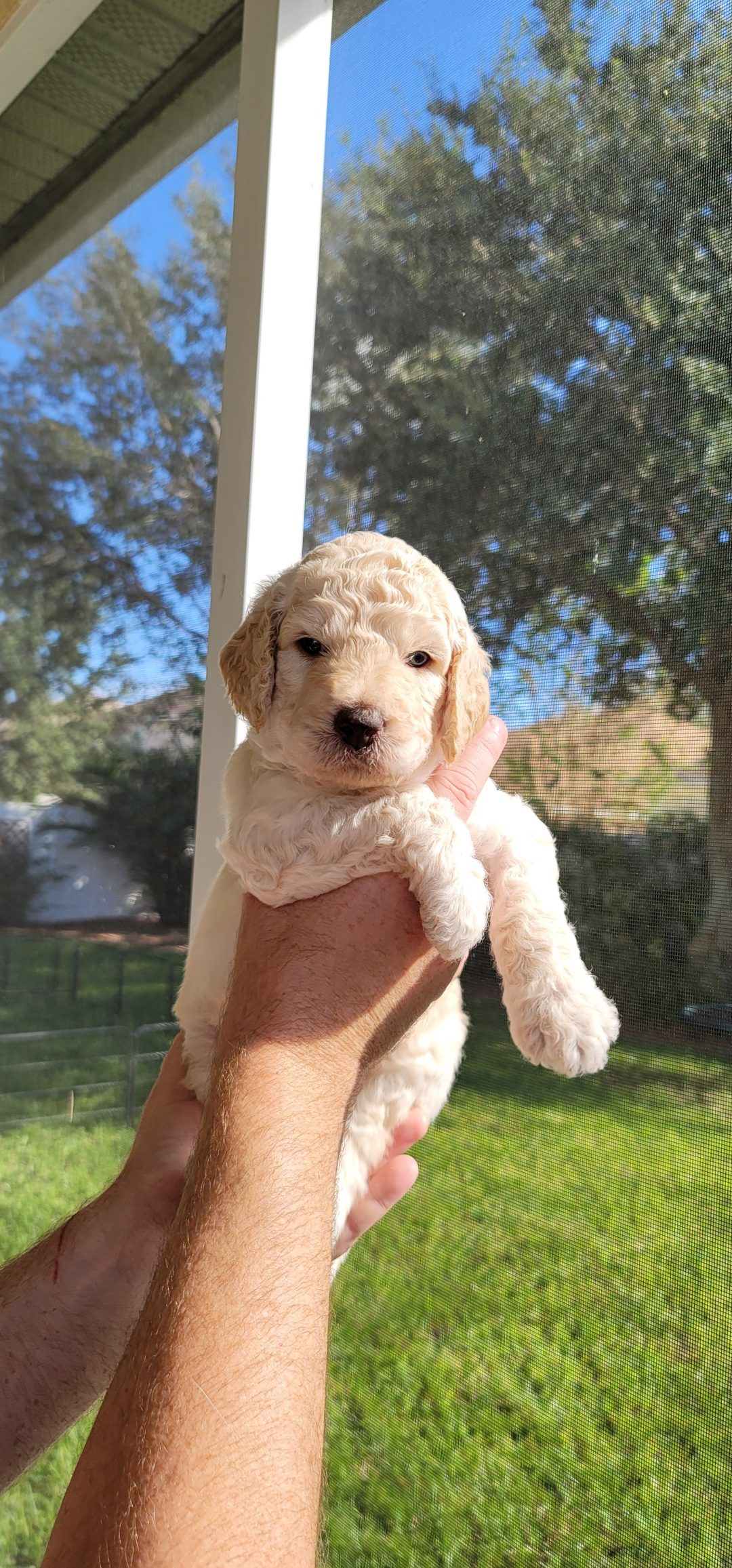 Zeta - AKC Goldendoodle male pup for sale at Melbourne, Florida