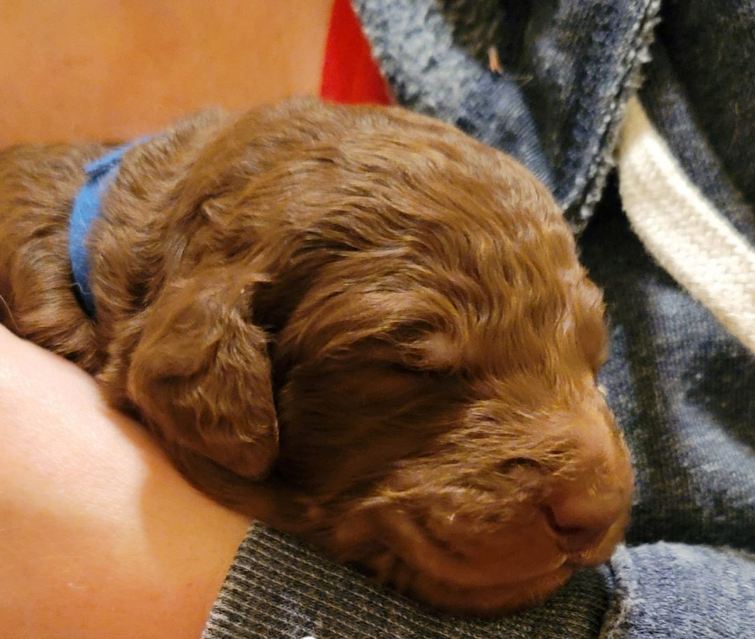 Atlas - AKC Goldendoodle male pup for sale in Melbourne, Florida