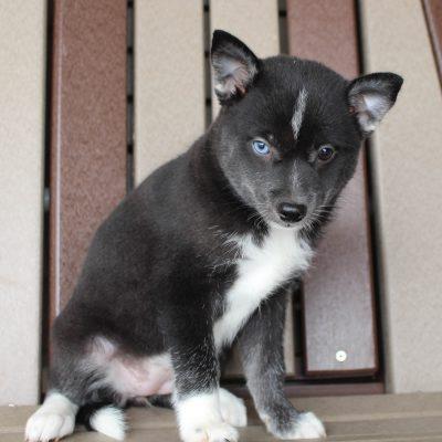 Nola - Pomsky female puppy for sale at Spencerville, Indiana
