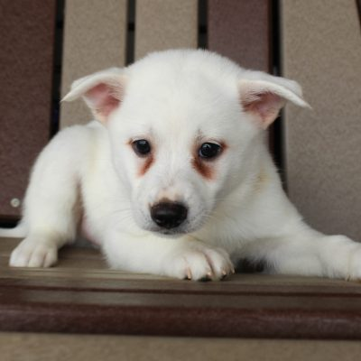 Snowball - Pomsky male pup for sale near Spencerville, Indiana