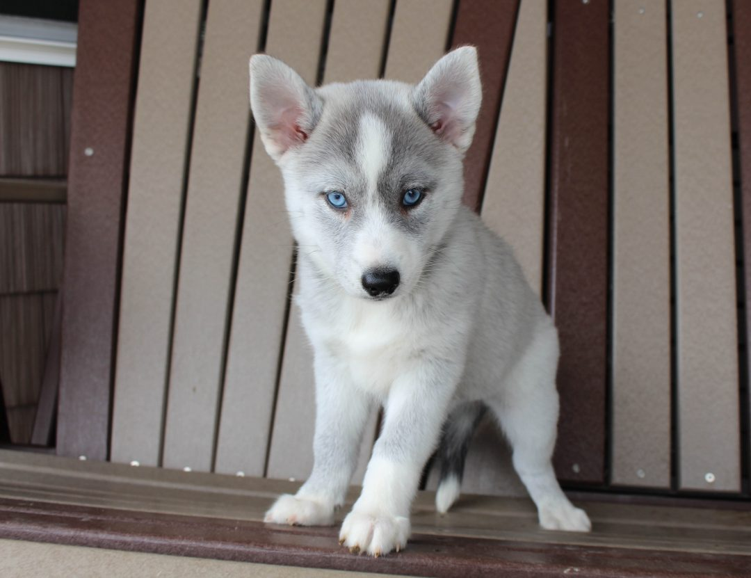 Molly - Pomsky female puppie for sale at Spencerville, Indiana