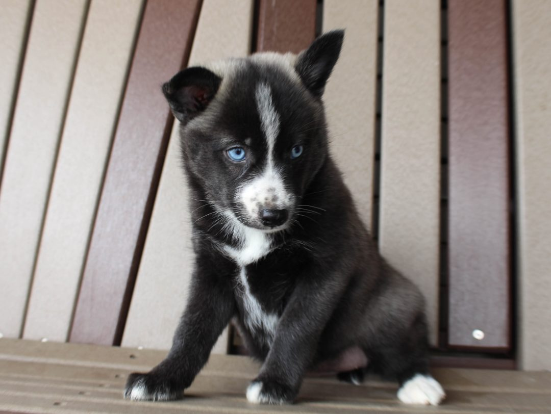 Millie - Pomsky female doggie for sale near Spencerville, Indiana