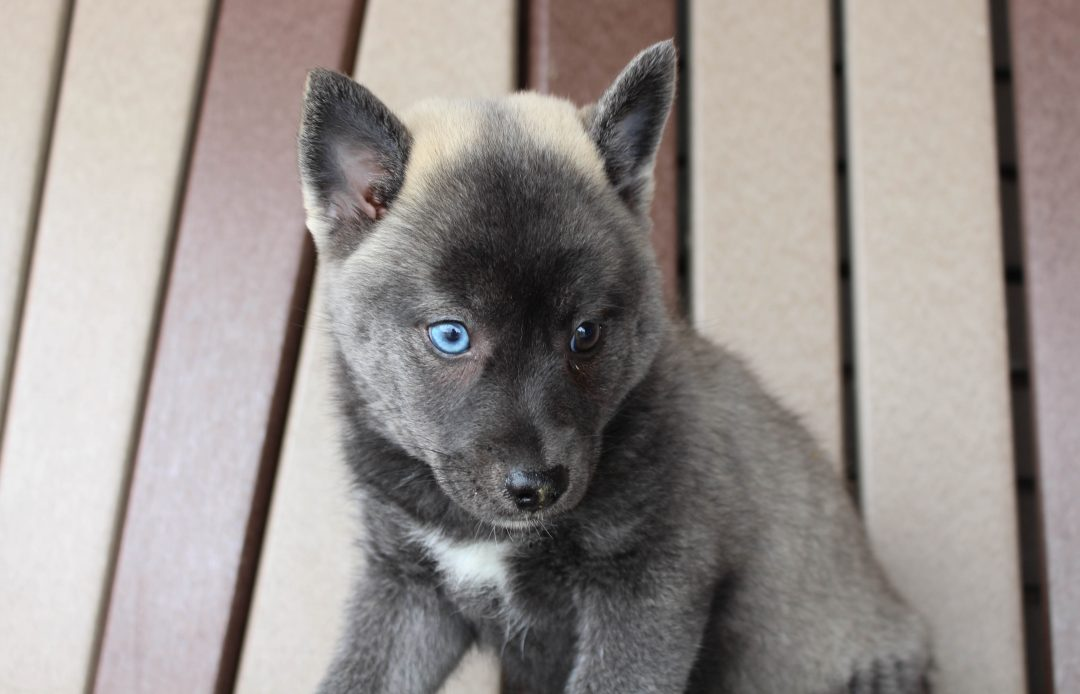 Macy - Pomsky male puppy for sale in Spencerville, Indiana