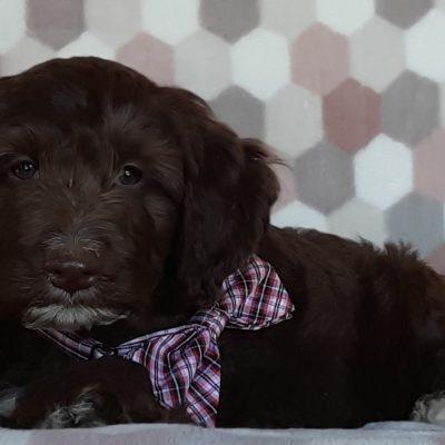 Rudy- Springerdoodle pup for sale near Peachbottom, Pennsylvania