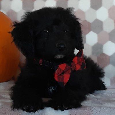 Odie - doggie Springerdoodle for sale near Peachbottom, Pennsylvania