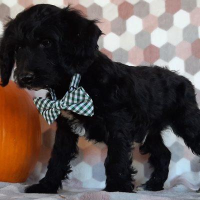 Blacky- Springerdoodle pupper for sale in Peachbottom, Pennsylvania