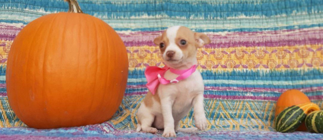 Uma - Chihuahua doggie for sale at Delta, Pennsylvania
