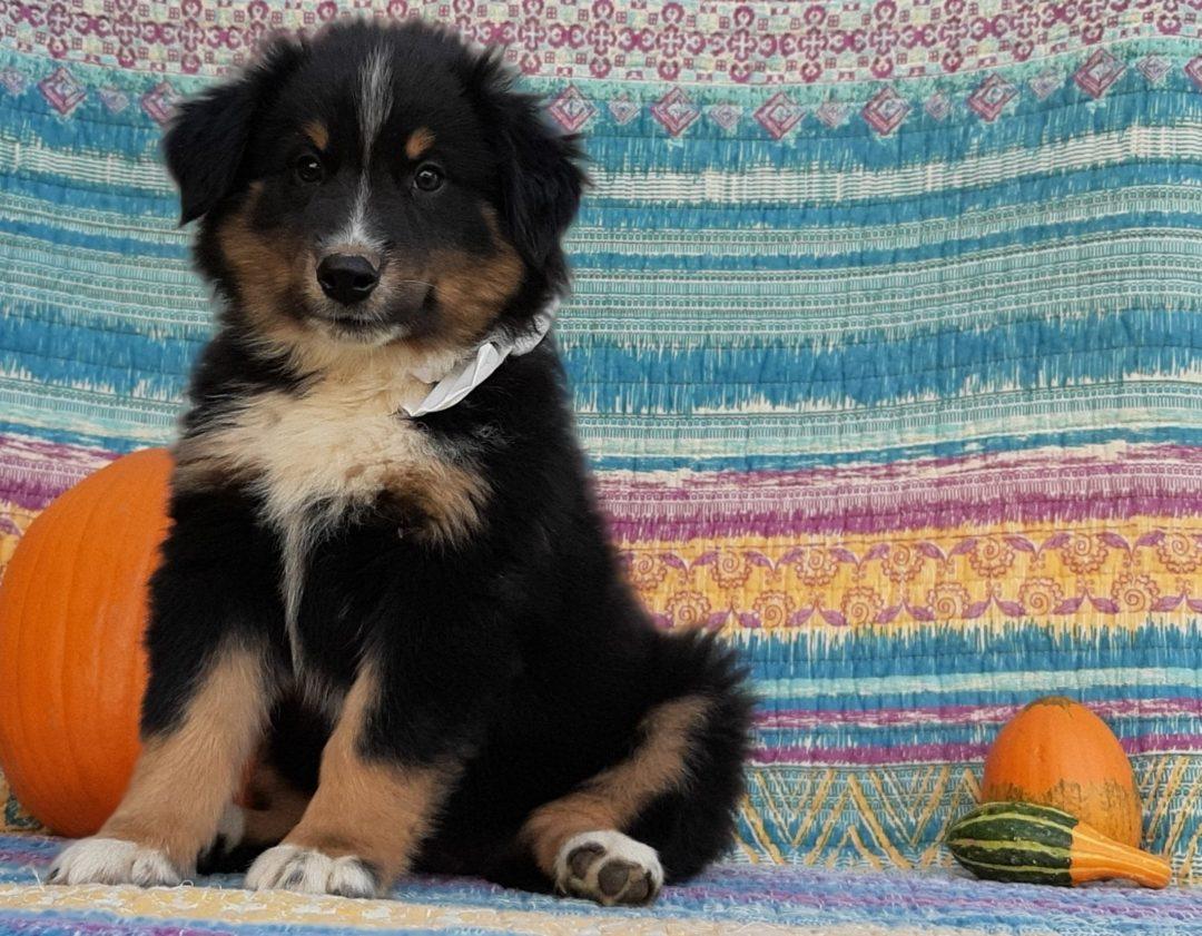 Mercy - Australian Shepherd puppie for sale in Delta, Pennsylvania
