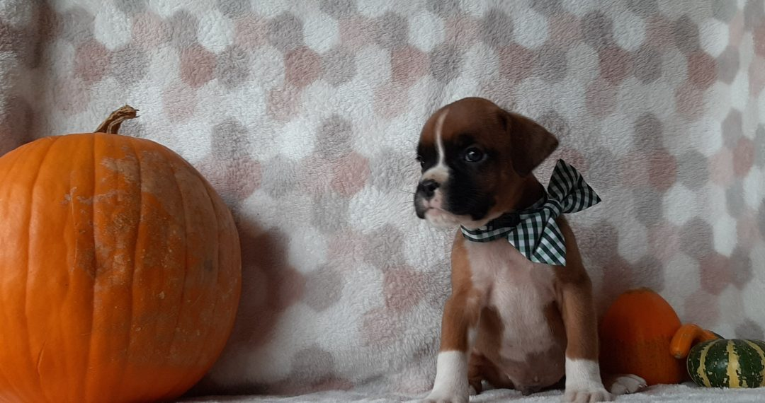 Bach - ACA Boxer puppie for sale in Kirkwood, Pennsylvania
