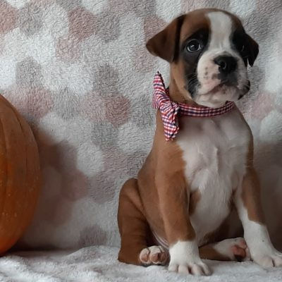 Chief - male ACA Boxer doggie for sale at Kirkwood, Pennsylvania