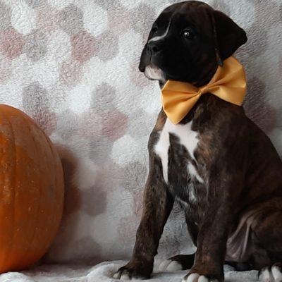 Fawn - male ACA Boxer puppie for sale near Kirkwood, Pennsylvania