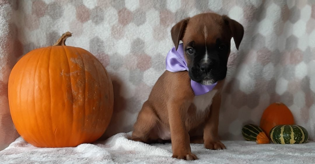 Roxi - ACA Boxer doggie for sale in Kirkwood, Pennsylvania
