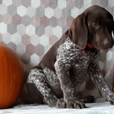 Freckles - German short hair pointer puppy for sale in Kirkwood, Pennsylvania
