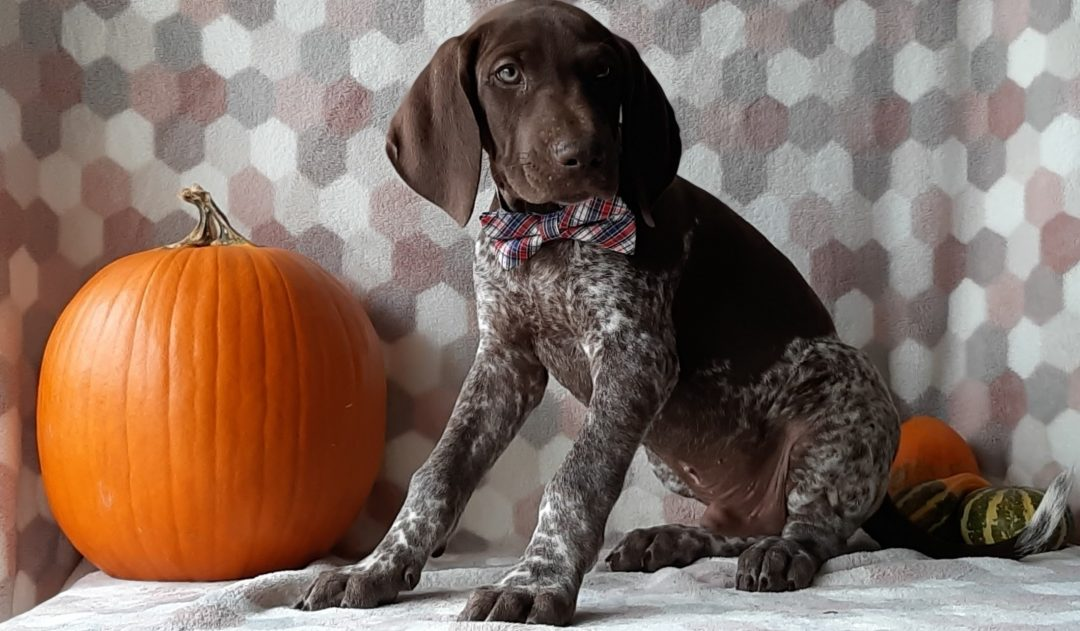 Hershey - German short hair pointer puppy for sale near Kirkwood, Pennsylvania