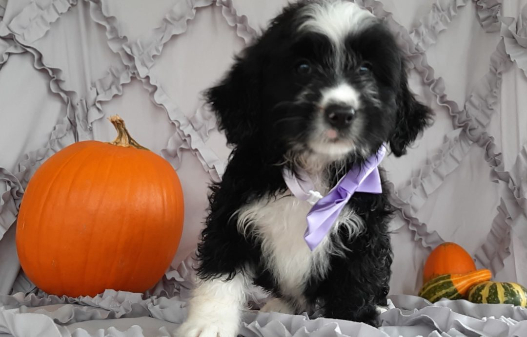 Josie - Micro Mini Bernedoodle pupper for sale in Rising Sun, Maryland