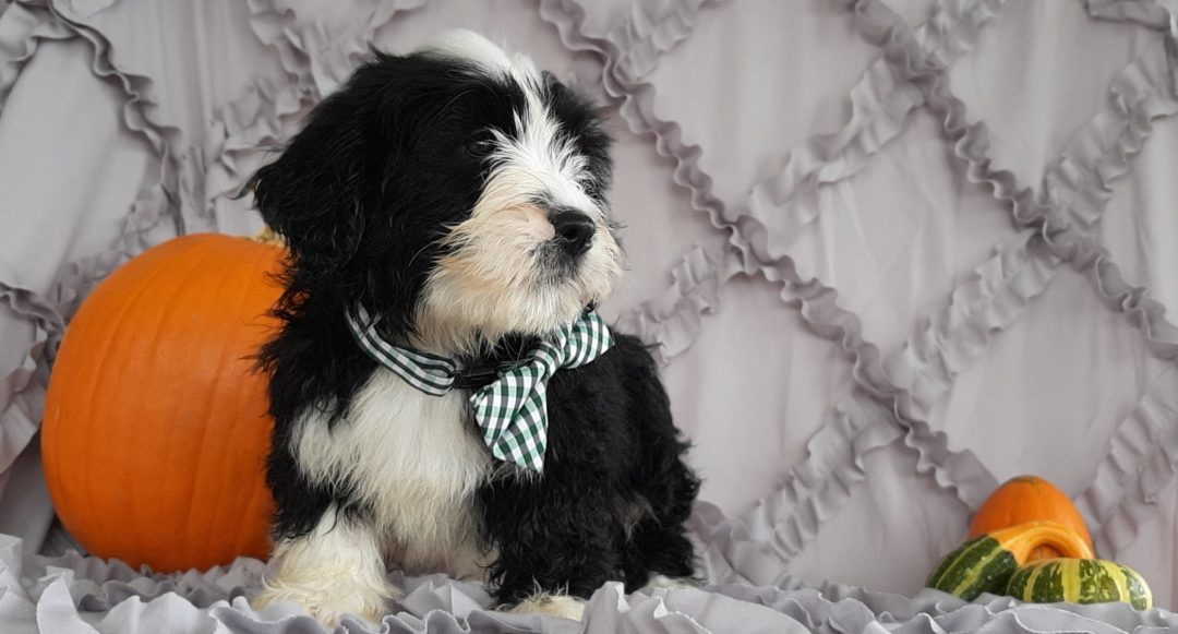 Abbott - Micro Mini Bernedoodle pupper for sale in Rising Sun, Maryland