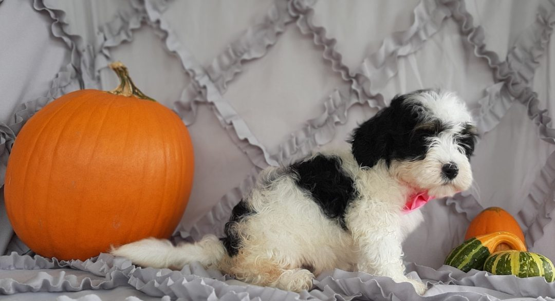Bitty - Micro Mini Bernedoodle pupper for sale in Rising Sun, Maryland