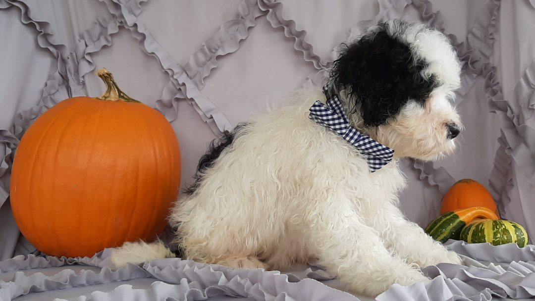 Otto - Micro Mini Bernedoodle pupper for sale in Rising Sun, Maryland