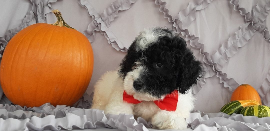Fern - Micro Mini Bernedoodle pupper for sale in Rising Sun, Maryland