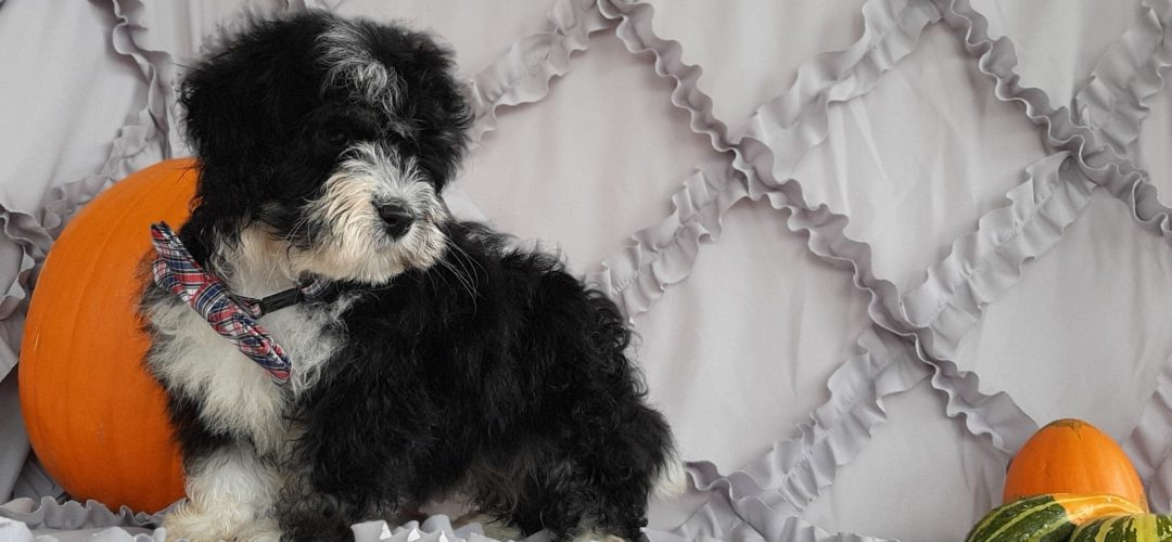 Zeke - male Micro Mini Bernedoodle pupper for sale in Rising Sun, Maryland