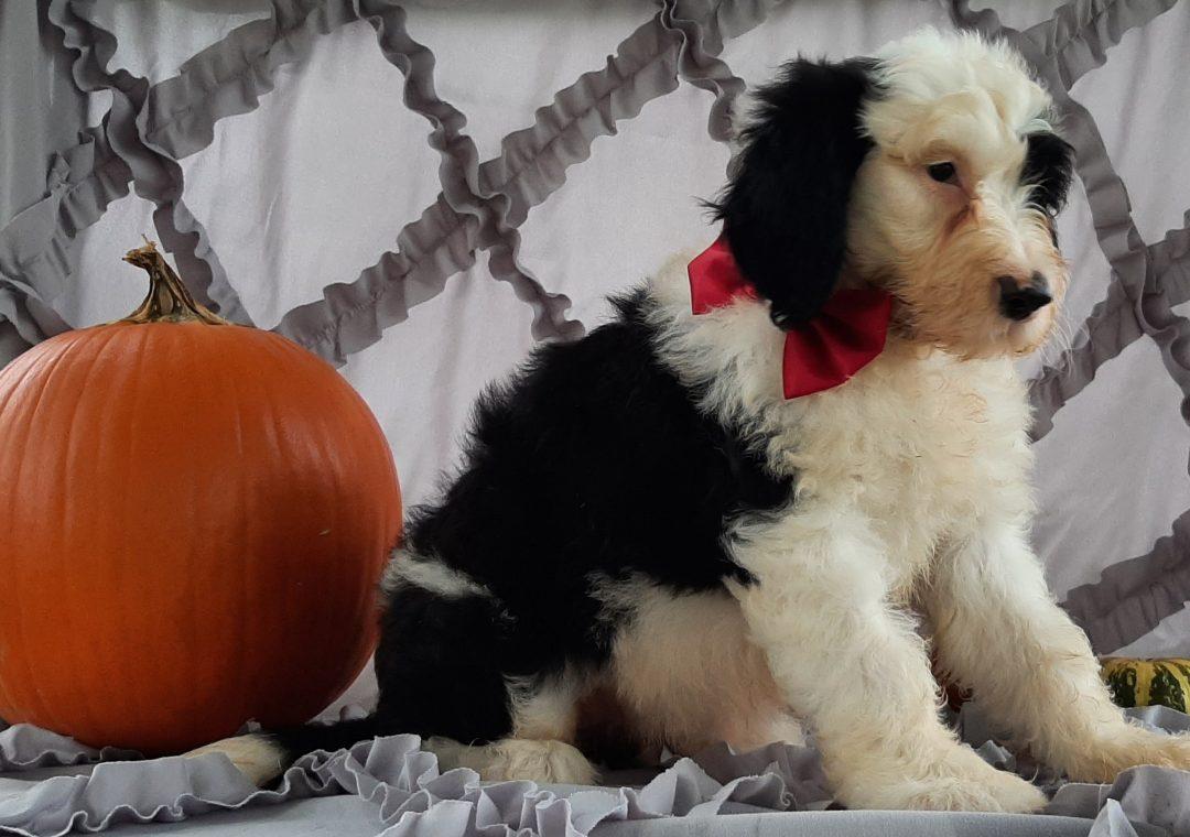 Flora - Sheepadoodle pup for sale at Kirkwood, Pennsylvania