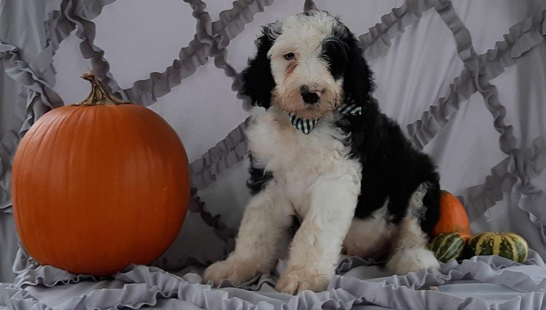 Higgins - Sheepadoodle puppie for sale in Kirkwood, Pennsylvania