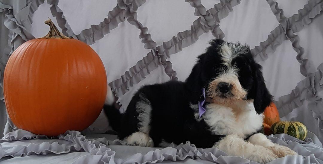 Venus - Sheepadoodle doggie for sale at Kirkwood, Pennsylvania