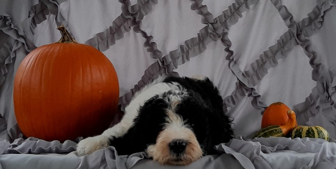 Wilby - male Sheepadoodle puppy for sale near Kirkwood, Pennsylvania