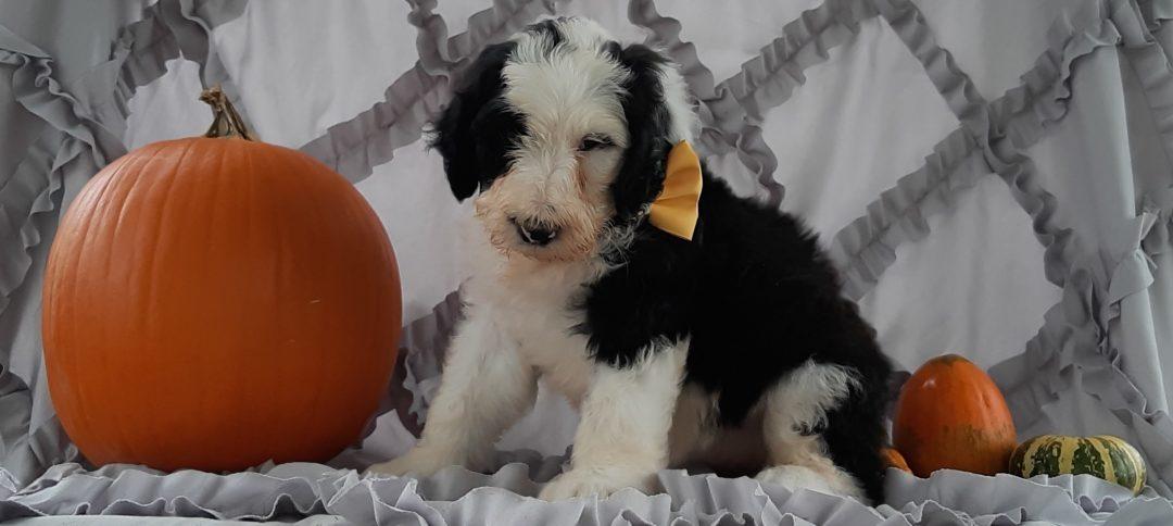 Tabby - Sheepadoodle pup for sale in Kirkwood, Pennsylvania