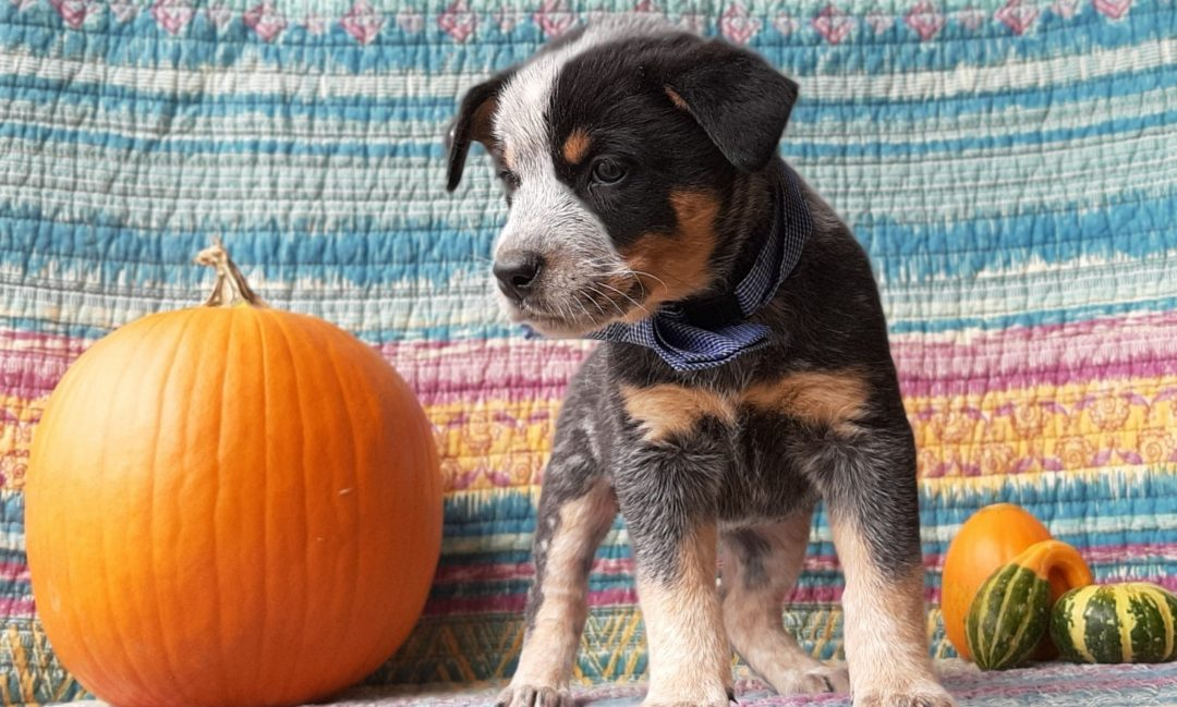 Milton - male Australian Cattle dog puppie for sale near Peach bottom, Pennsylvania