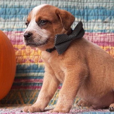Astro - Australian Cattle dog doggie for sale in Peach bottom, Pennsylvania