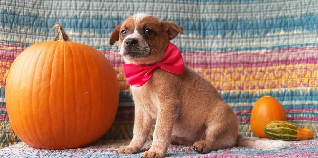 Barbie - Australian Cattle dog puppy for sale at Peach bottom, Pennsylvania