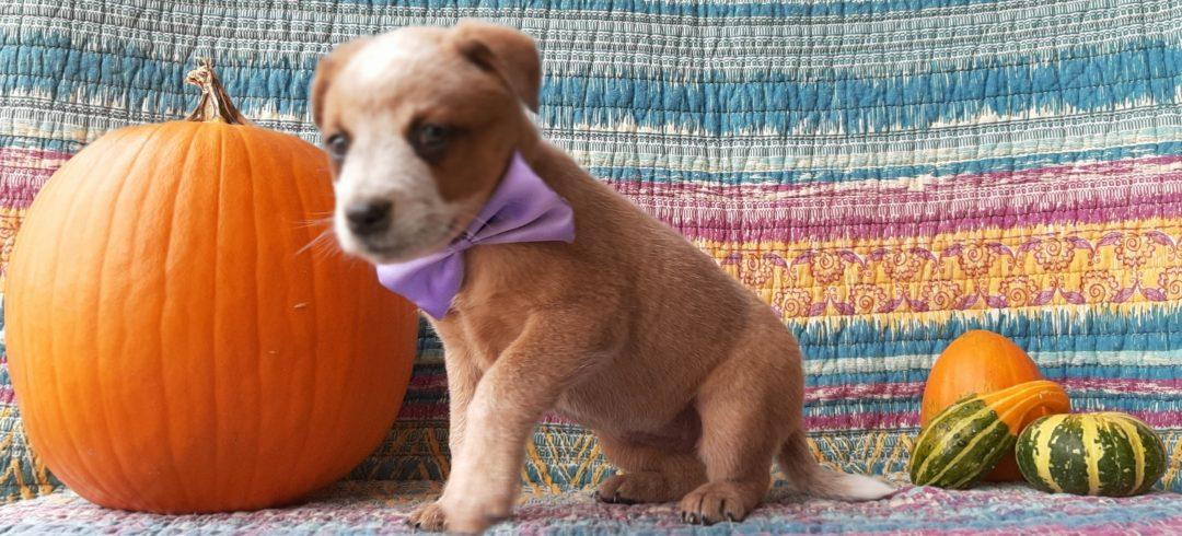Kali - Australian Cattle dog pup for sale near Peach bottom, Pennsylvania