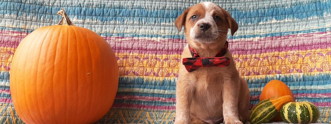 Guy - Australian Cattle dog pupper for sale in Peach bottom, Pennsylvania